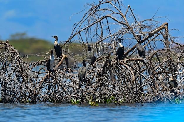 反射して水中の枝にとまるアフリカヘビウ。南アフリカ