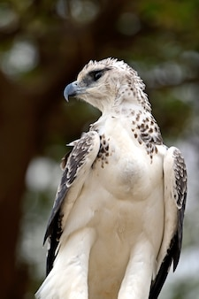 An african eagle perched on an acacia tree