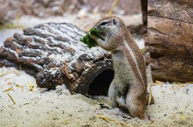 아프리카 지구 다람쥐.