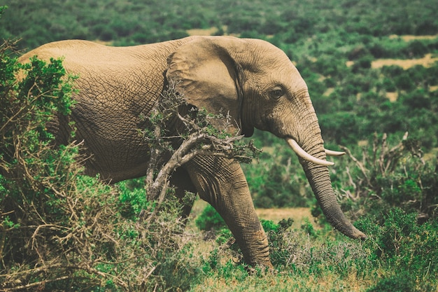 African elephant in bushes close up view in addo national park, south africa