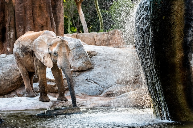 African elephant cooling in a river and drinking water.