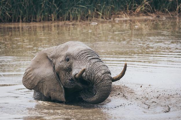 南アフリカのアッド国立公園で飲んだり洗ったりしているアフリカゾウ