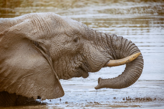 African elephant drinking and washing himself in addo national park, south africa