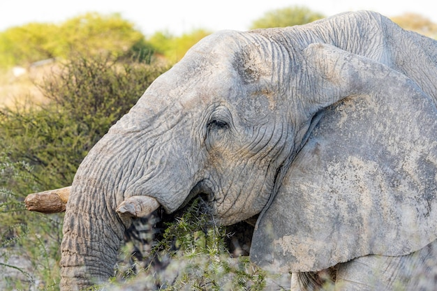 African elephant eating acacia tree in etosha national park, namibia.