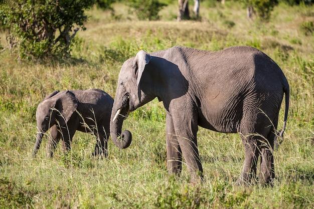 サバンナを歩くアフリカ象の家族