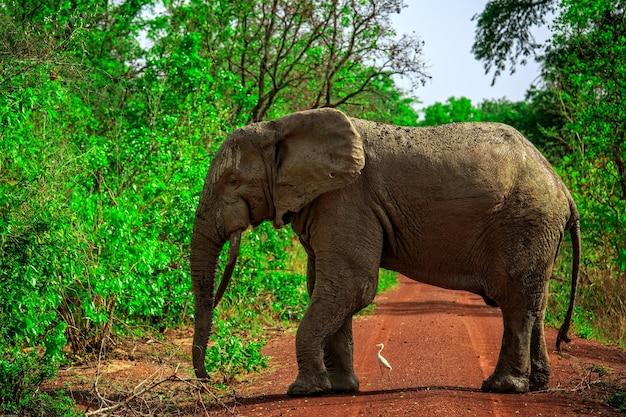 ガーナのモレ国立公園に生息するアフリカゾウ