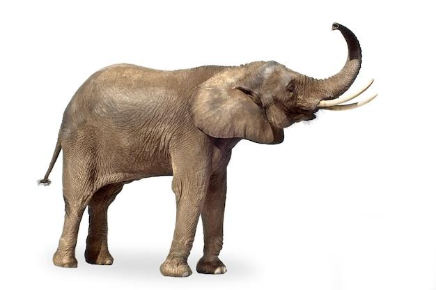Африканский изолированный слон