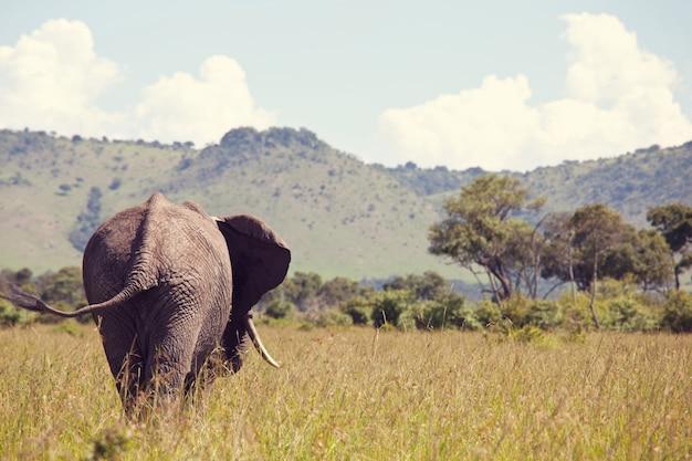African elephant, loxodonta africana, in the savannah, kenya, africa