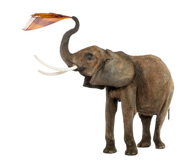 Африканский слон играет с тканью, изолирован на белом