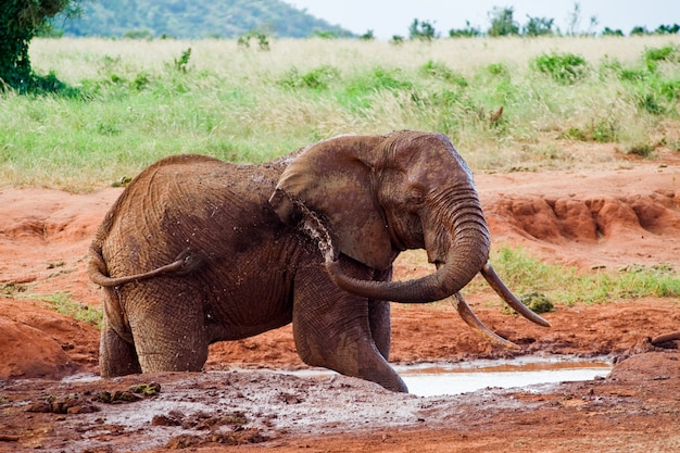 African elephant pours mud