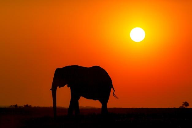 日没時のアフリカ象のシルエット