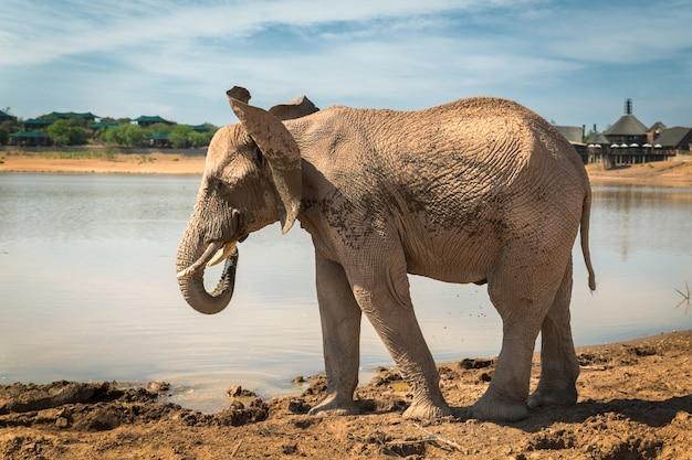南アフリカの狩猟保護区にある湖のそばに立っているアフリカ象