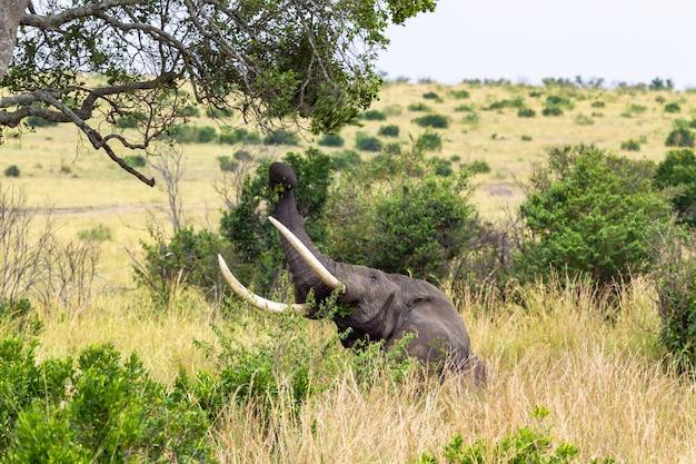 Африканский слон срывает листья с дерева