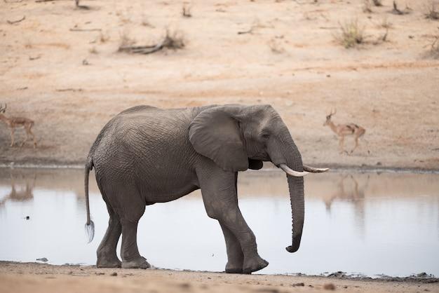 Африканский слон гуляет по берегу озера