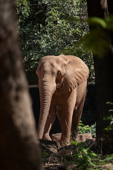 African elephant in zoo