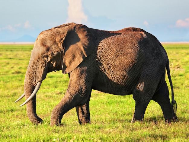 アフリカゾウの頭部のベクタ