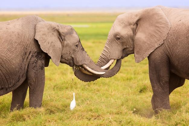 African elephants in amboseli national park. kenya, africa.