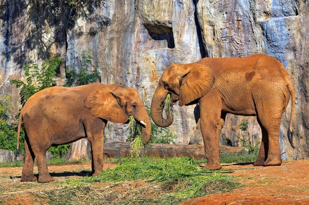 African elephants are eating .