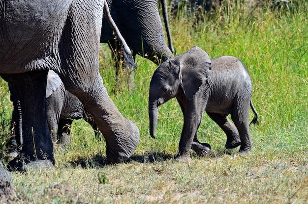 Африканские слоны в естественной среде обитания. кения. африка.