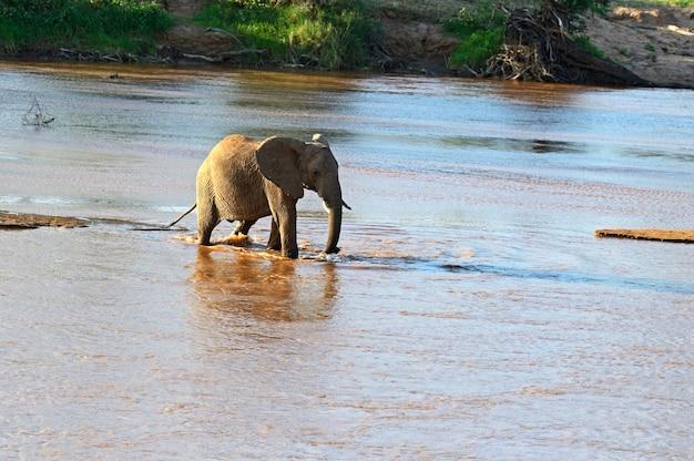 自然の生息地にいるアフリカゾウ。ケニア