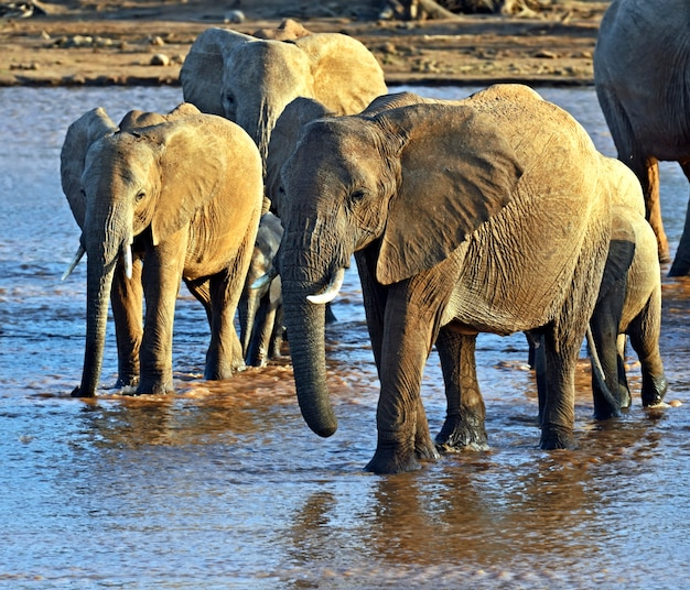 Африканские слоны в естественной среде обитания. кения