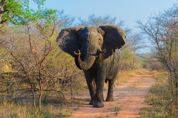 African elephants on a safari through south africa in the kruger national park
