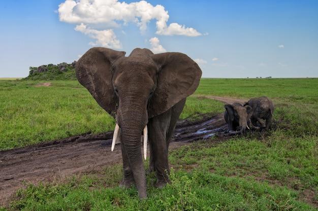 African elephants walking in nature