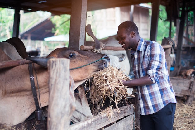 African farmer giving dry feed to cows in stable
