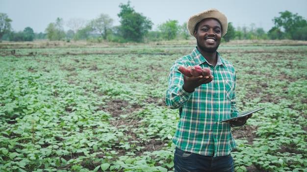 태블릿을 사용하여 유기농 농장에서 신선한 고구마를 들고 있는 아프리카 농부 남자. 농업 또는 재배 개념