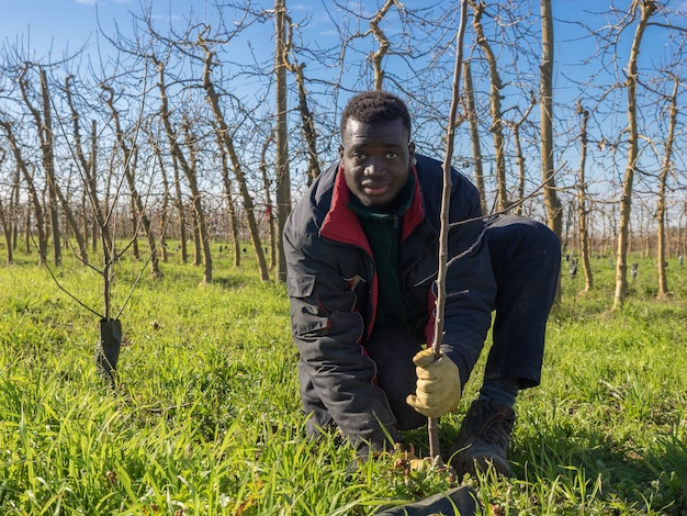 African farmer planting fruit trees on a sunny winter day. agriculture concept.