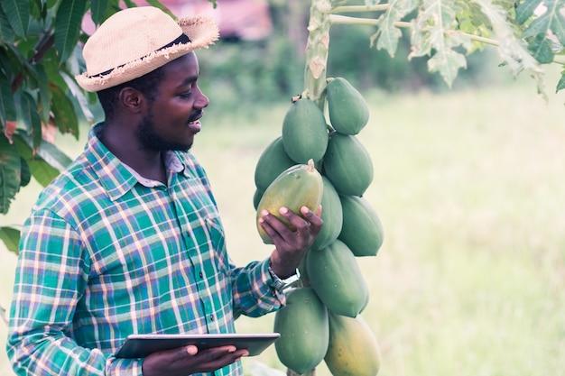 Африканский фермер в шляпе с помощью планшета в поле плантации органической папайи. инновации в сельском хозяйстве или концепция выращивания