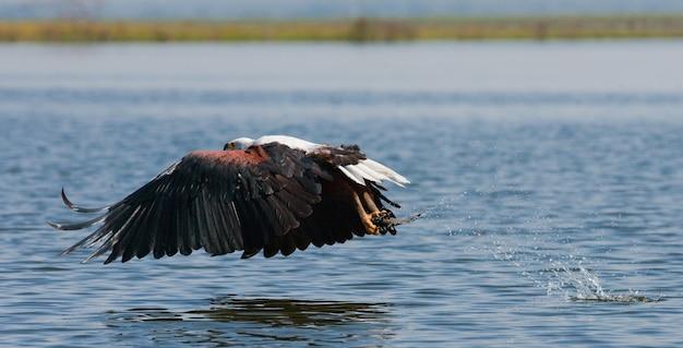 獲物への攻撃の瞬間のサンショクウミワシケニアタンザニアサファリ東アフリカ