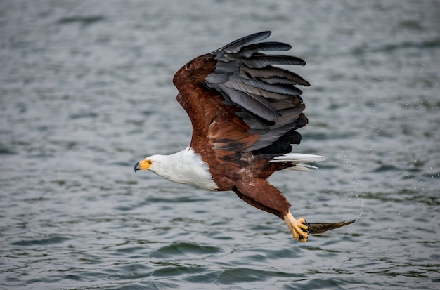African fish eagle in flight with the fish in its claws. east africa. uganda.
