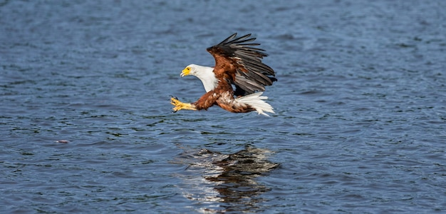 African fish eagle in flight with the fish in its claws.