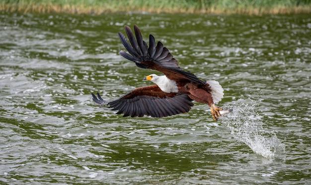 Орел африканской рыбы в полете с рыбой в когтях. восточная африка. уганда.