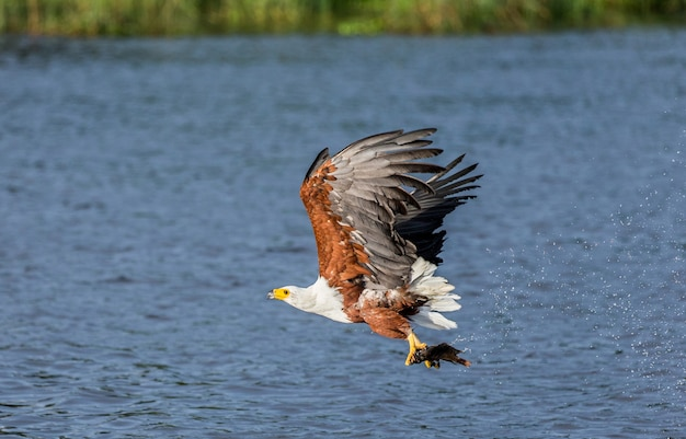 Орел африканской рыбы в полете с рыбой в когтях.