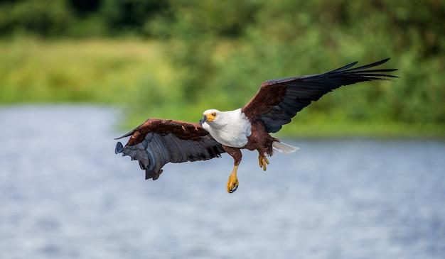 Африканский орел в полете.