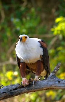 African fish eagle is sitting on a branch with a fish in its claws. east africa. uganda.