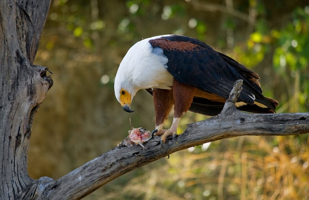 African fish eagle is sitting on a branch with a fish in its claws.