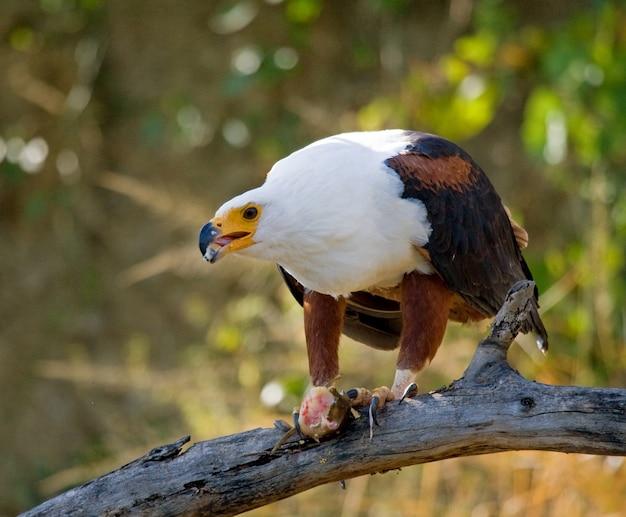 サンショクウミワシは、爪に魚がいる枝に座っています。東アフリカ。ウガンダ。