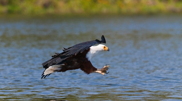 African fish eagle at the moment the attack on the prey kenya tanzania safari east africa