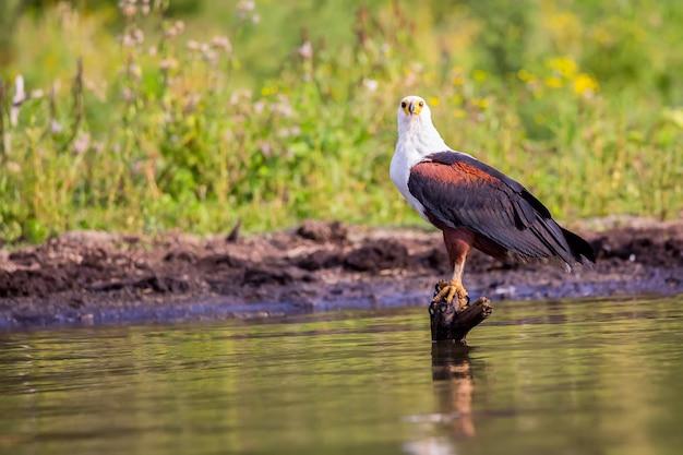 Африканский рыбный орел. озеро найваша.