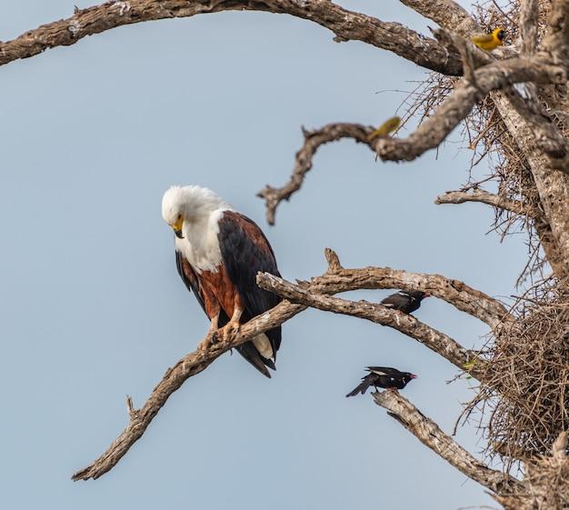 Aquila pescatrice africana in piedi sui rami degli alberi nudi sotto la luce del sole di giorno