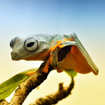African frog