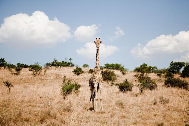 サファリパークのアフリカのキリン