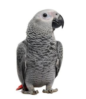 Африканский серый попугай (3 месяца), изолированные на белом фоне