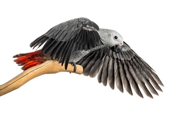 Африканский серый попугай (3 месяца) сидит на ветке и машет крыльями, изолированные на белом
