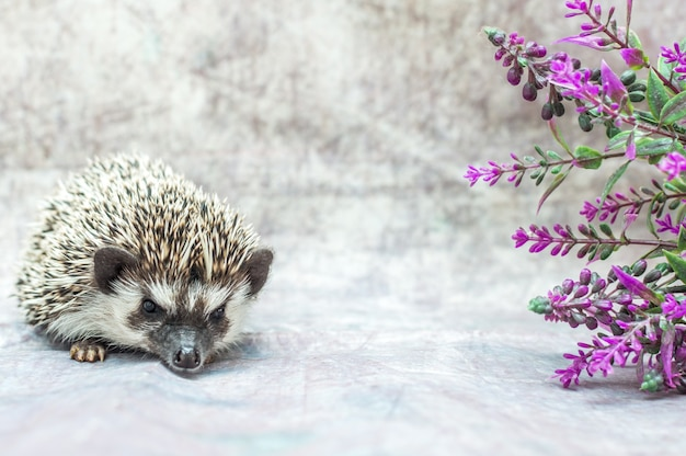 African hedgehog on gray concrete with flowers