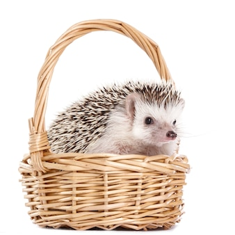 African hedgehog on white in the basket
