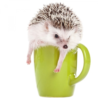 African hedgehog on white and green cup